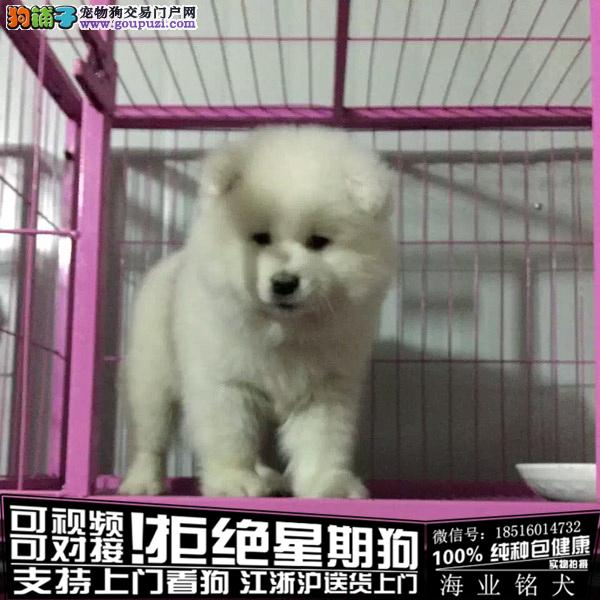 cku认证犬舍出售极品萨摩耶 签协议保健康