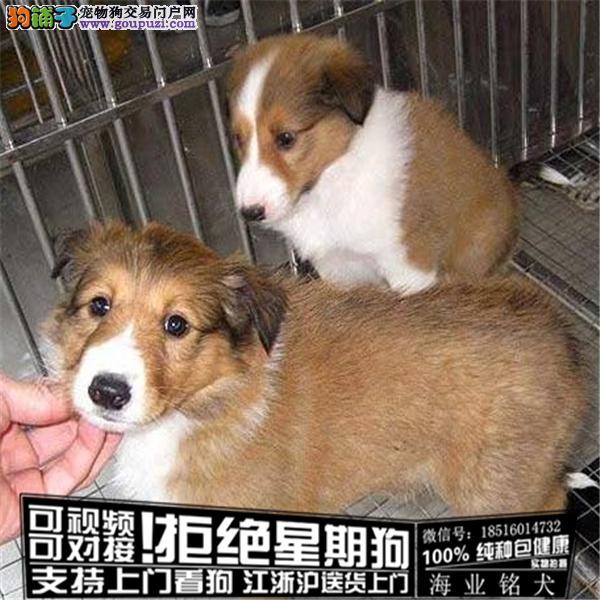 cku认证犬舍出售极品喜乐蒂 签协议保健康
