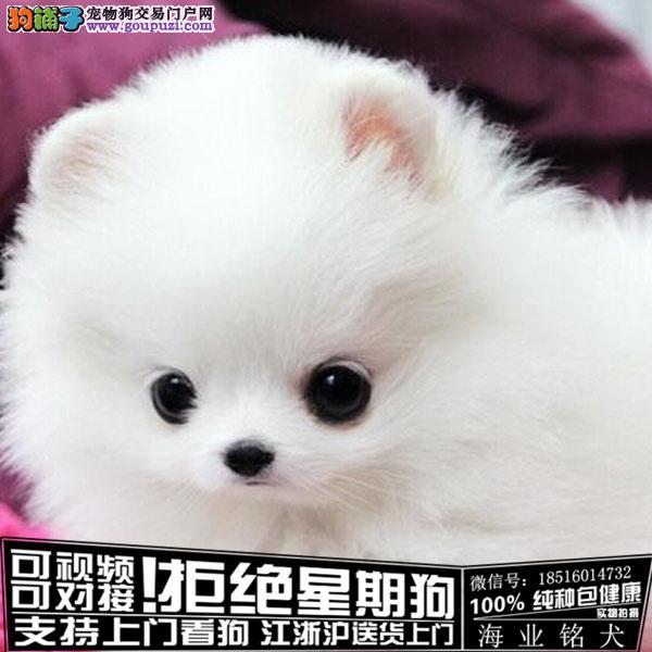 cku认证犬舍出售极品 博美犬签协议保健康