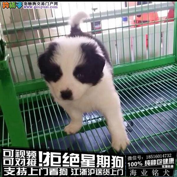 cku认证犬舍出售极品 边境牧羊犬签协议保健康
