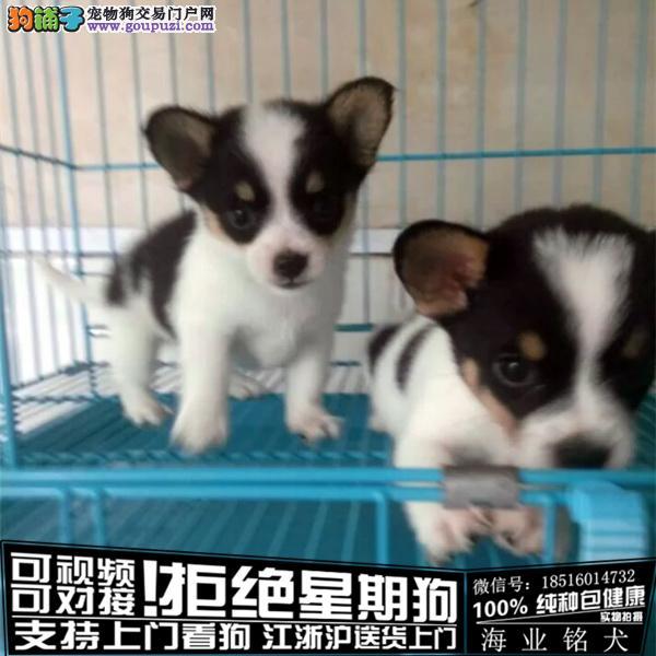 cku认证犬舍出售极品柯基 签协议保健康
