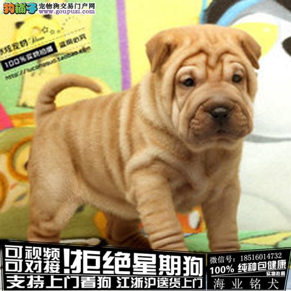 cku认证犬舍出售极品 沙皮狗签协议保健康