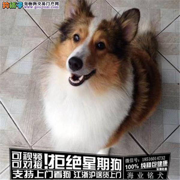 cku认证犬舍出售极品 喜乐蒂签协议保健康