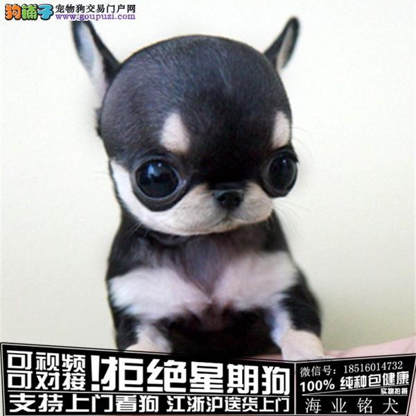cku认证犬舍出售极品 吉娃娃签协议保健康