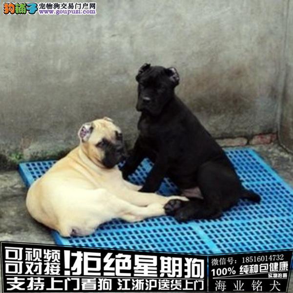 cku认证犬舍出售极品 卡斯罗签协议保健康