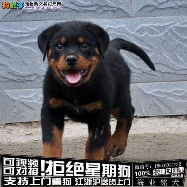 cku认证犬舍出售极品罗威纳 签协议保健康