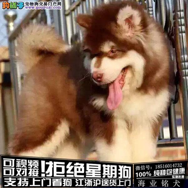 cku认证犬舍出售极品 阿拉斯加签协议保健康
