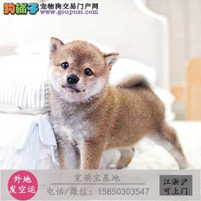 cku认证犬舍出售极品柴犬 签协议保健康