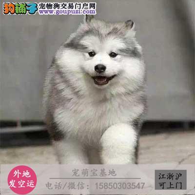 cku认证犬舍出售极品 啊拉斯加签协议保健康