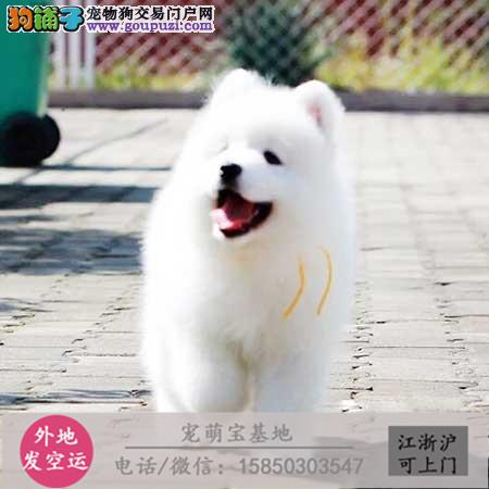 cku认证犬舍出售极品藏獒 签协议保健康1