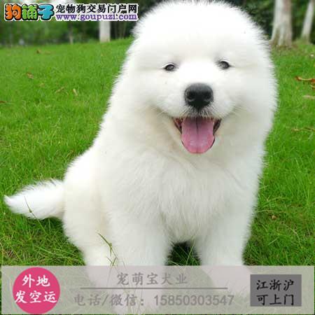 cku认证犬舍出售极品 藏獒签协议保健康