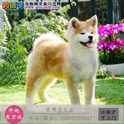 cku认证犬舍出售极品 秋田犬签协议保健康