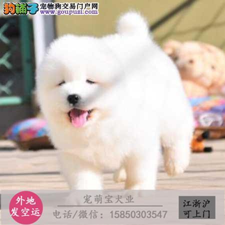 cku认证犬舍出售极品 萨摩耶签协议保健康