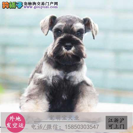 cku认证犬舍出售极品 雪纳瑞签协议保健康
