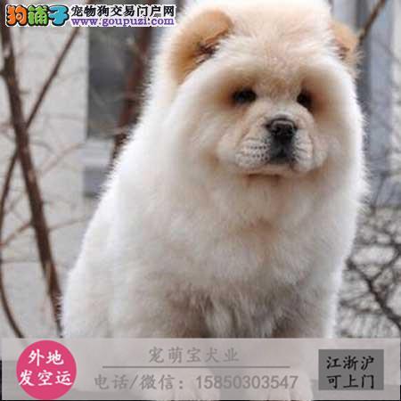 cku认证犬舍出售极品 松狮犬签协议保健康