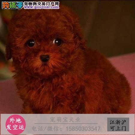 wcku认证犬舍出售极品泰迪 签协议保健康