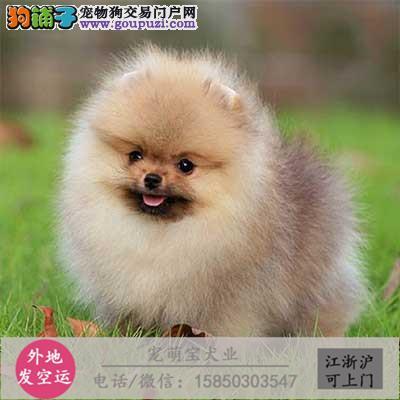 cku认证犬舍出售极品 马犬签协议保健康