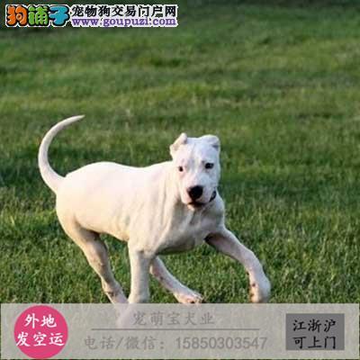 cku认证犬舍出售极品杜高犬 签协议保健康