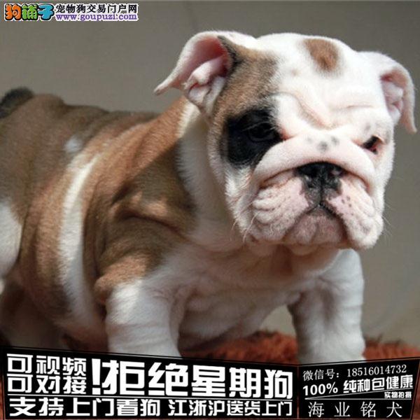 cku认证犬舍出售极品 英国斗牛犬签协议保健康