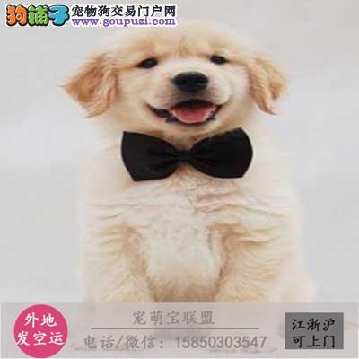 cku认证犬舍出售极品 金毛签协议保健康