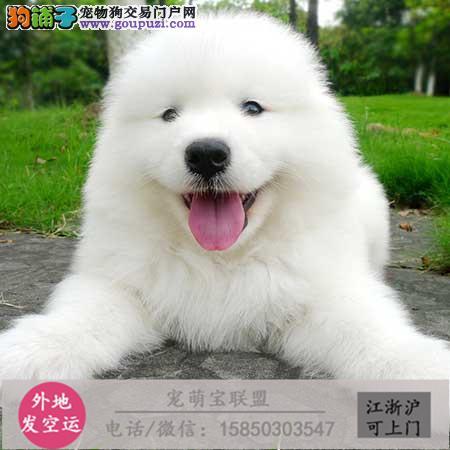 cku认证犬舍出售极品 银狐犬签协议保健康