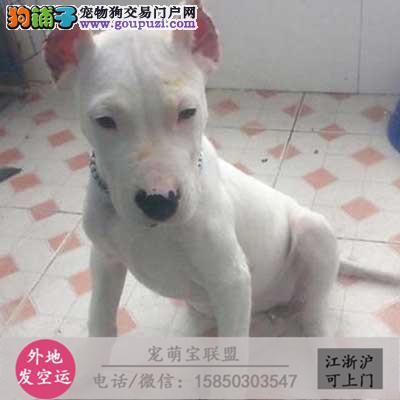 cku认证犬舍出售极品 杜高犬签协议保健康