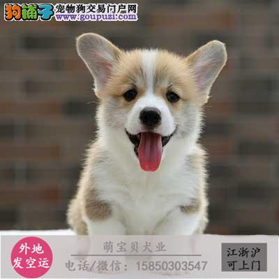cku认证犬舍出售极品 柯基签协议保健康