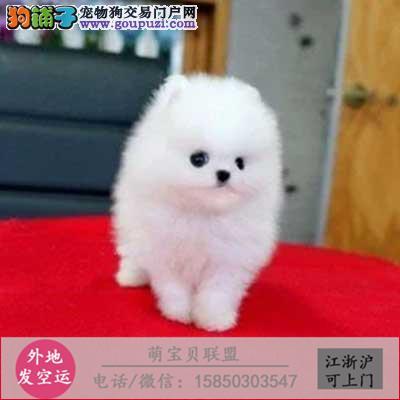 cku认证犬舍出售极品博美宝宝 签协议保健康