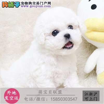 cku认证犬舍出售极品可爱比熊 签协议保健康