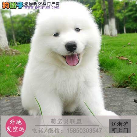 cku认证犬舍出售极品萨摩耶签协议保健康