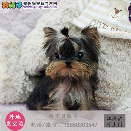 cku认证犬舍出售极品约克夏签协议保健康