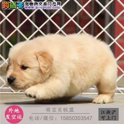 cku认证犬舍出售极品金毛 签协议保健康