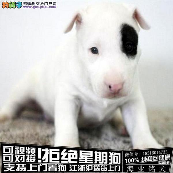 cku认证犬舍出售极品牛头梗签协议保健康