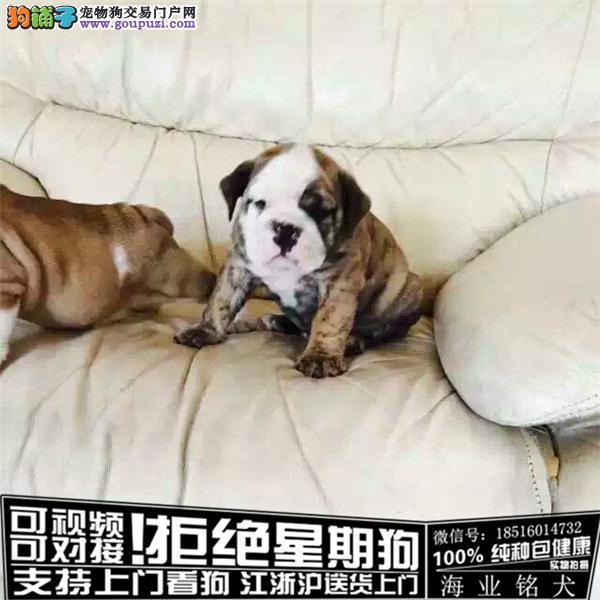 cku认证犬舍出售极品拉布拉英牛 签协议保健康