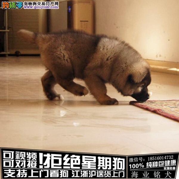cku认证犬舍出售极品高加索签协议保健康