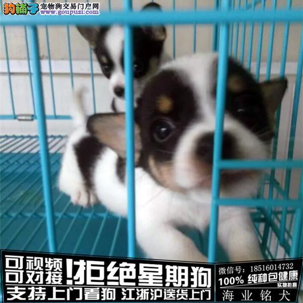 cku认证犬舍出售极品柯基签协议保健康
