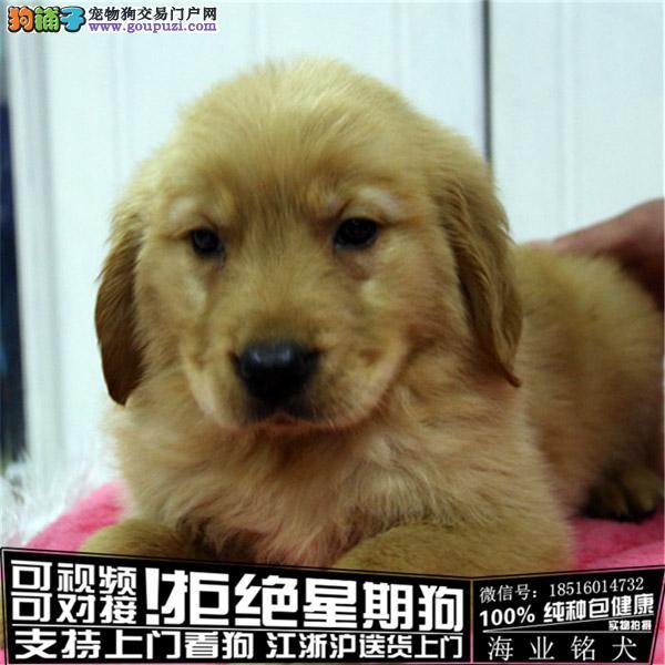 cku认证犬舍出售极品金毛犬 签协议保健康