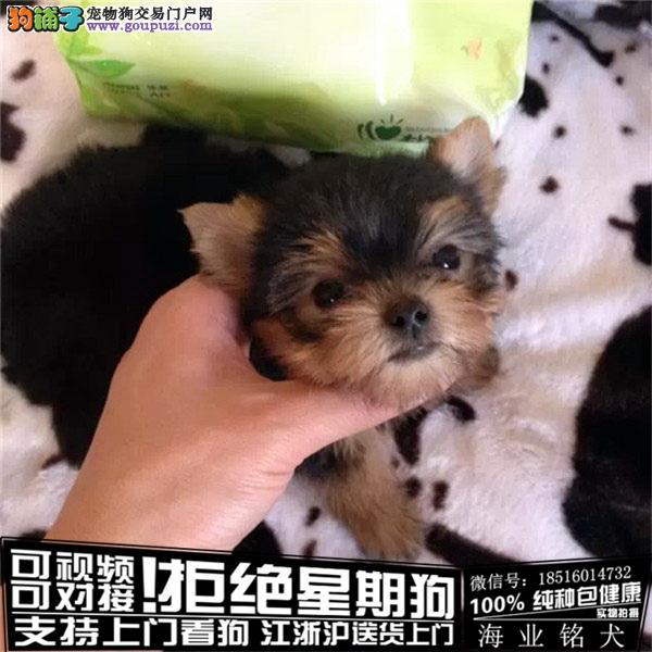 cku认证犬舍出售极品约克夏 签协议保健康