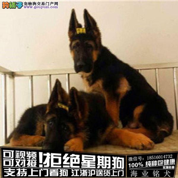 cku认证犬舍出售极品德牧宝宝签协议保健康