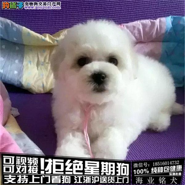 cku认证犬舍出售极品比熊犬 签协议保健康