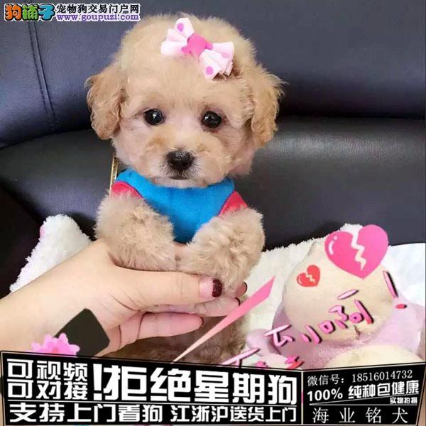 cku认证犬舍出售极品茶杯泰迪签协议保健康