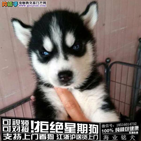 cku认证犬舍出售极品哈士奇宝宝签协议保健康