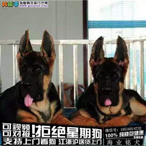 cku认证犬舍出售极品拉布拉德牧 签协议保健康