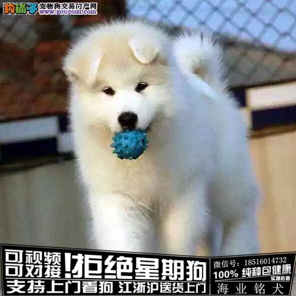 cku认证犬舍出售极品阿拉斯加签协议保健康