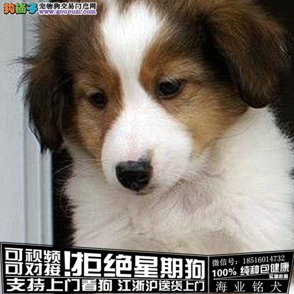 cku认证犬舍出售极品苏牧签协议保健康