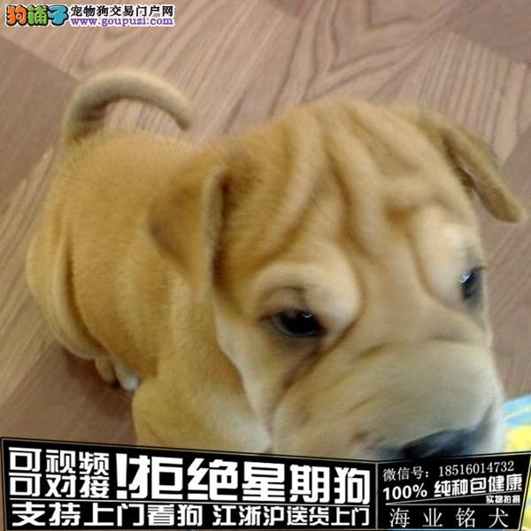cku认证犬舍出售极品沙皮签协议保健康
