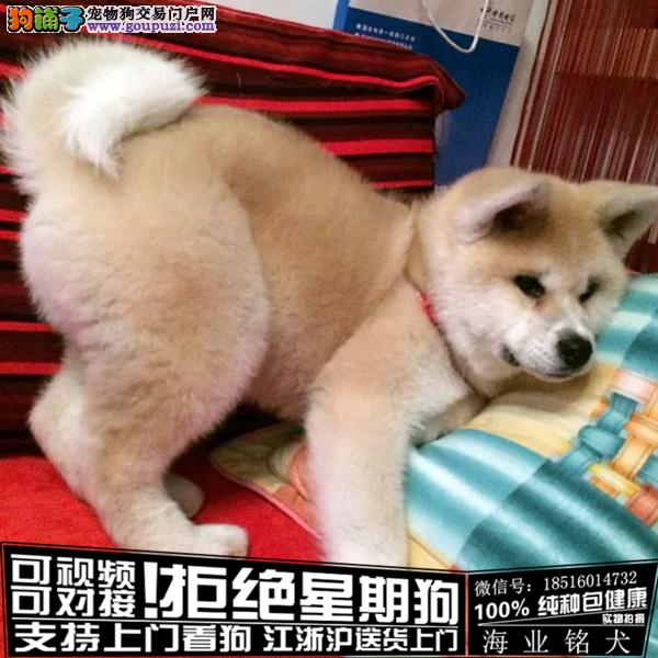 cku认证犬舍出售极品秋田签协议保健康