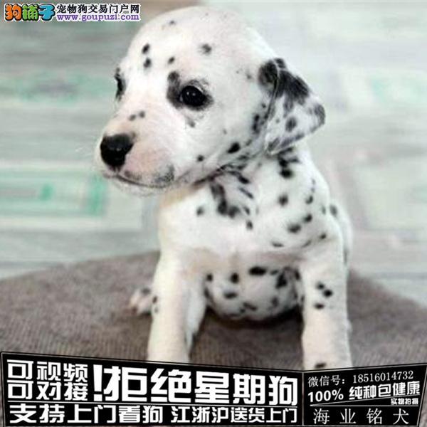 cku认证犬舍出售极品斑点 签协议保健康