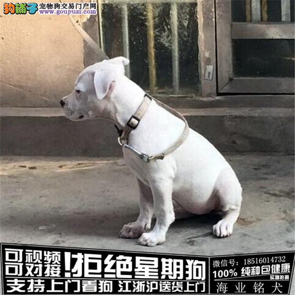 cku认证犬舍出售极品拉布拉多杜高 签协议保健康