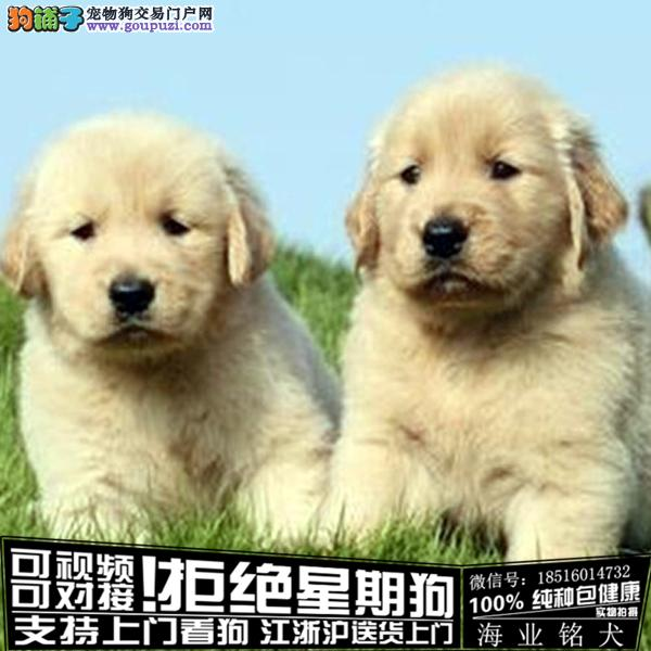 cku认证犬舍出售极品金毛签协议保健康